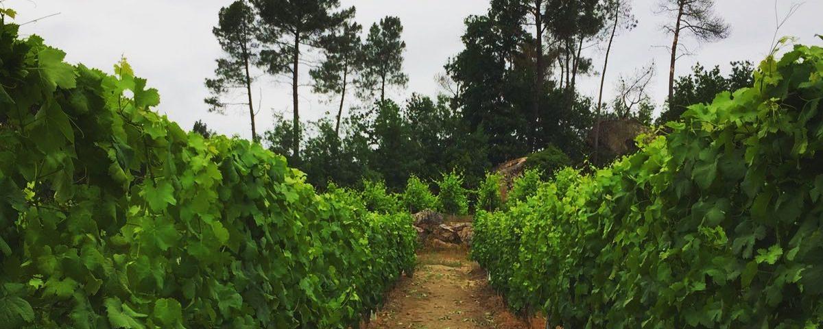 Ribeiro_viñedo