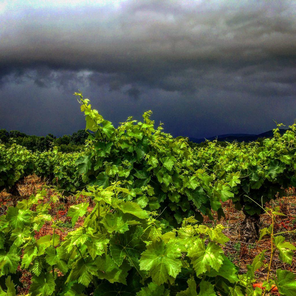 El Bierzo viñedo