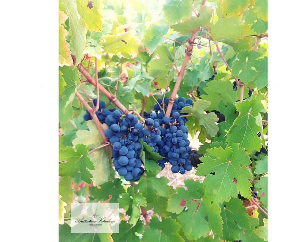 Uva rufete de la viña dónde nace Los Vientos