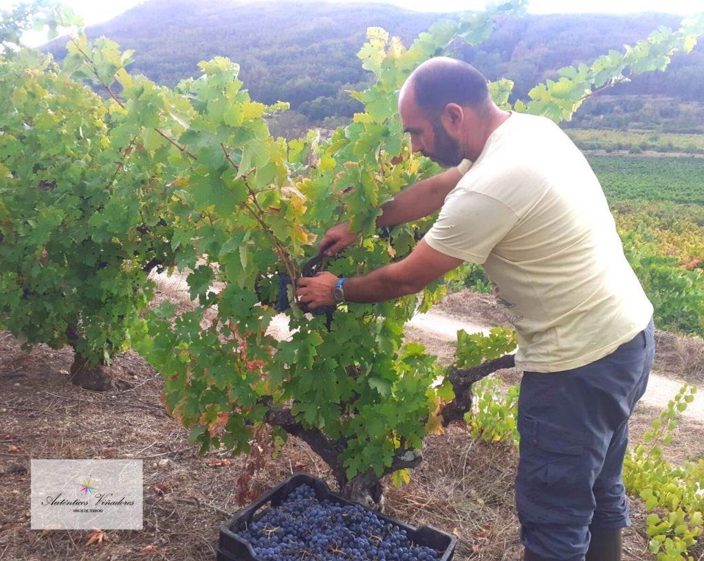 Vendimia manual de nuestros vinos Los Vientos y El Amante en Sierra de Salamanca