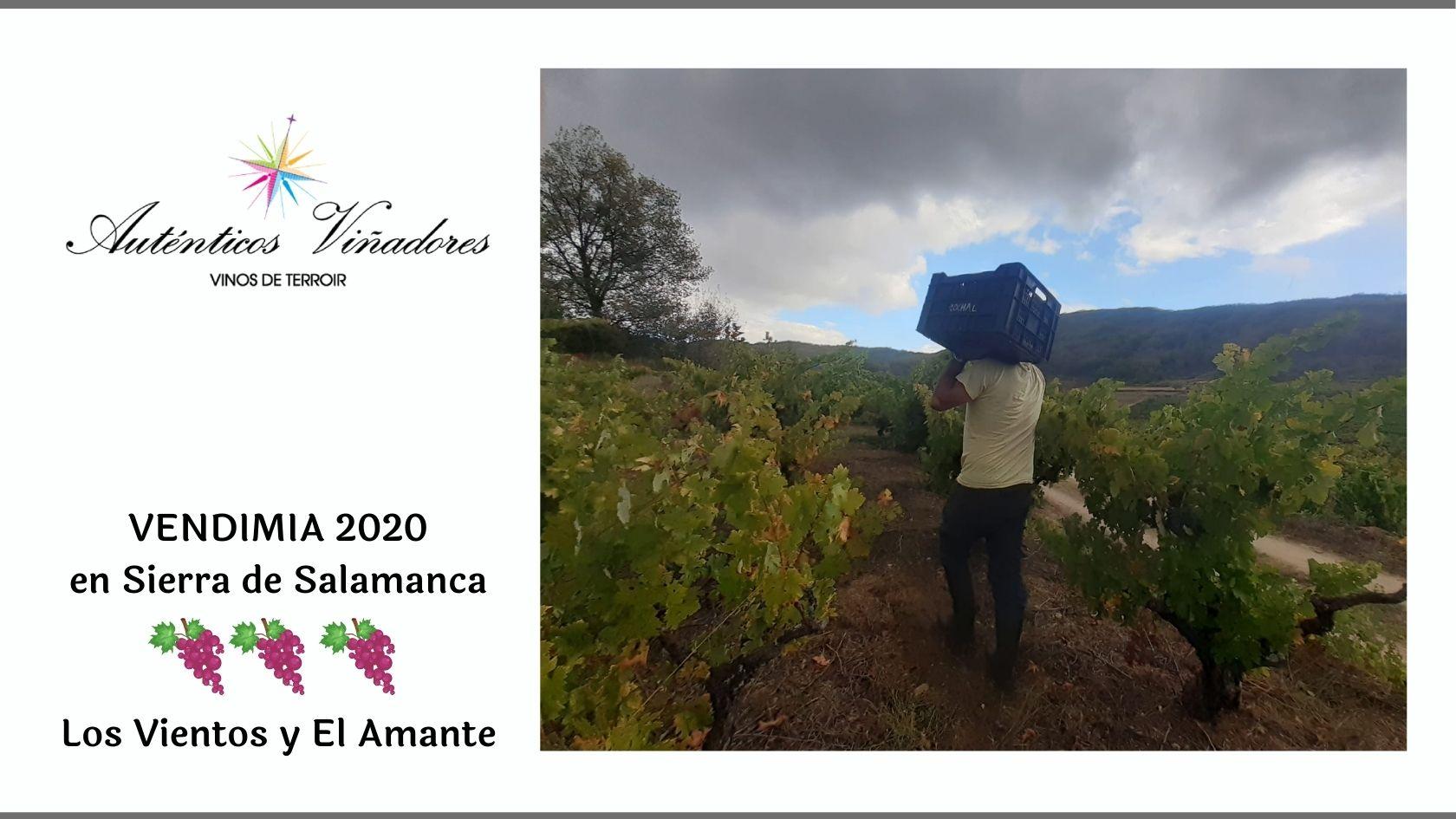 Vendimia en Sierra de Salamanca dónde nacen Los Vientos y El Amante